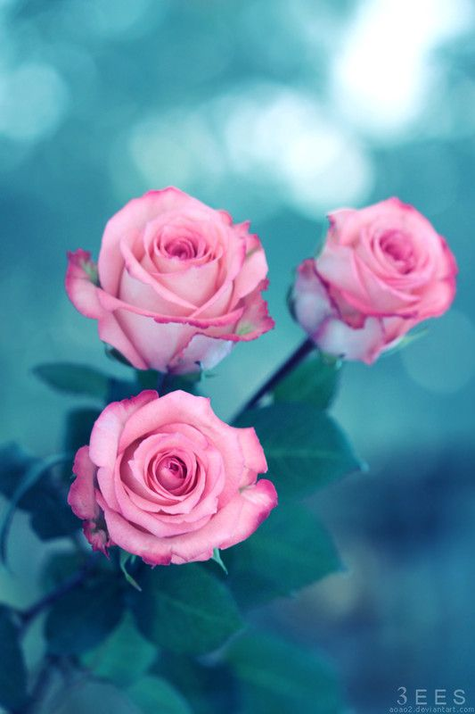 belle roses