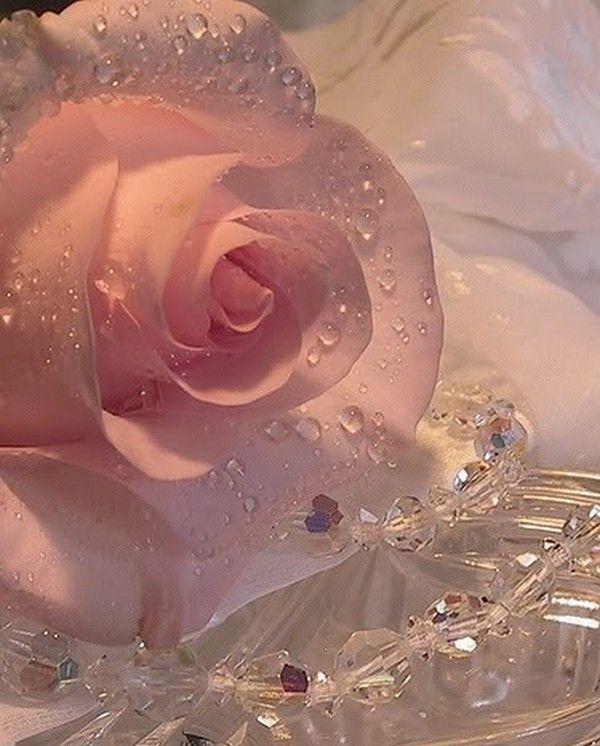 douceur d'une rose