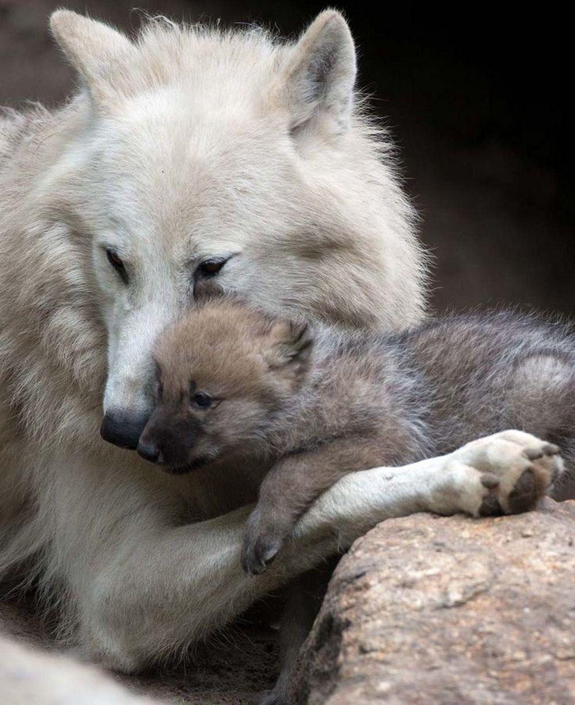 wolf kissing its cub - photo #10