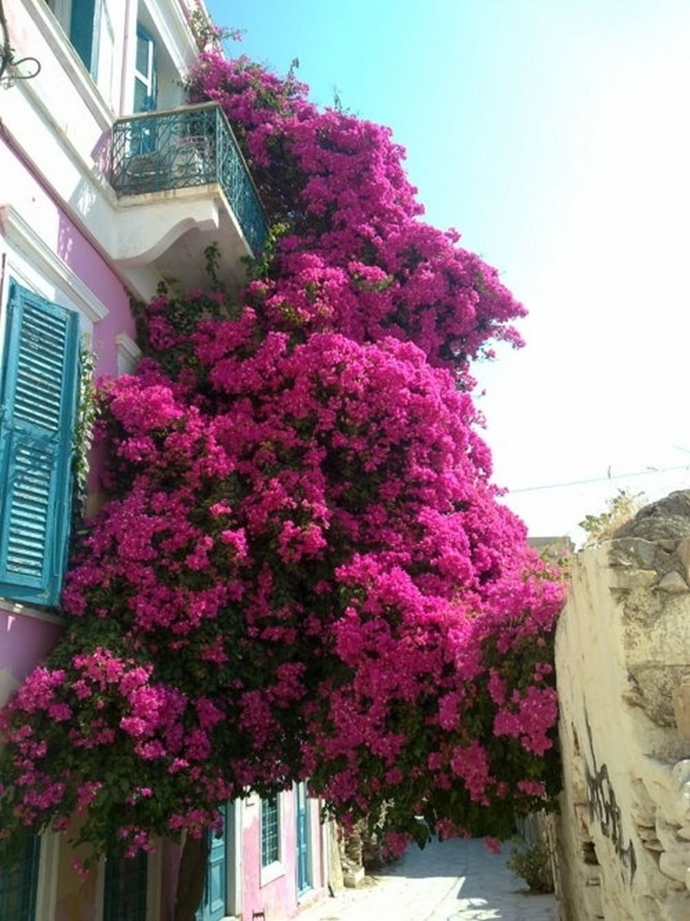 Вьющийся кустарник на балконе / садоводство, дача / кустарни.
